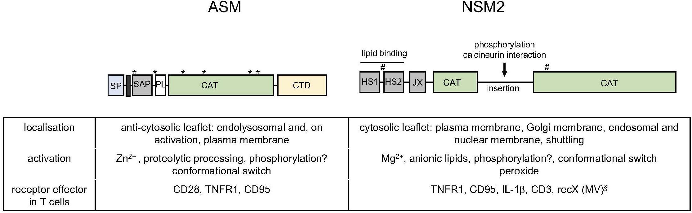 Frontiers   Sphingomyelin Breakdown in T Cells: Role of