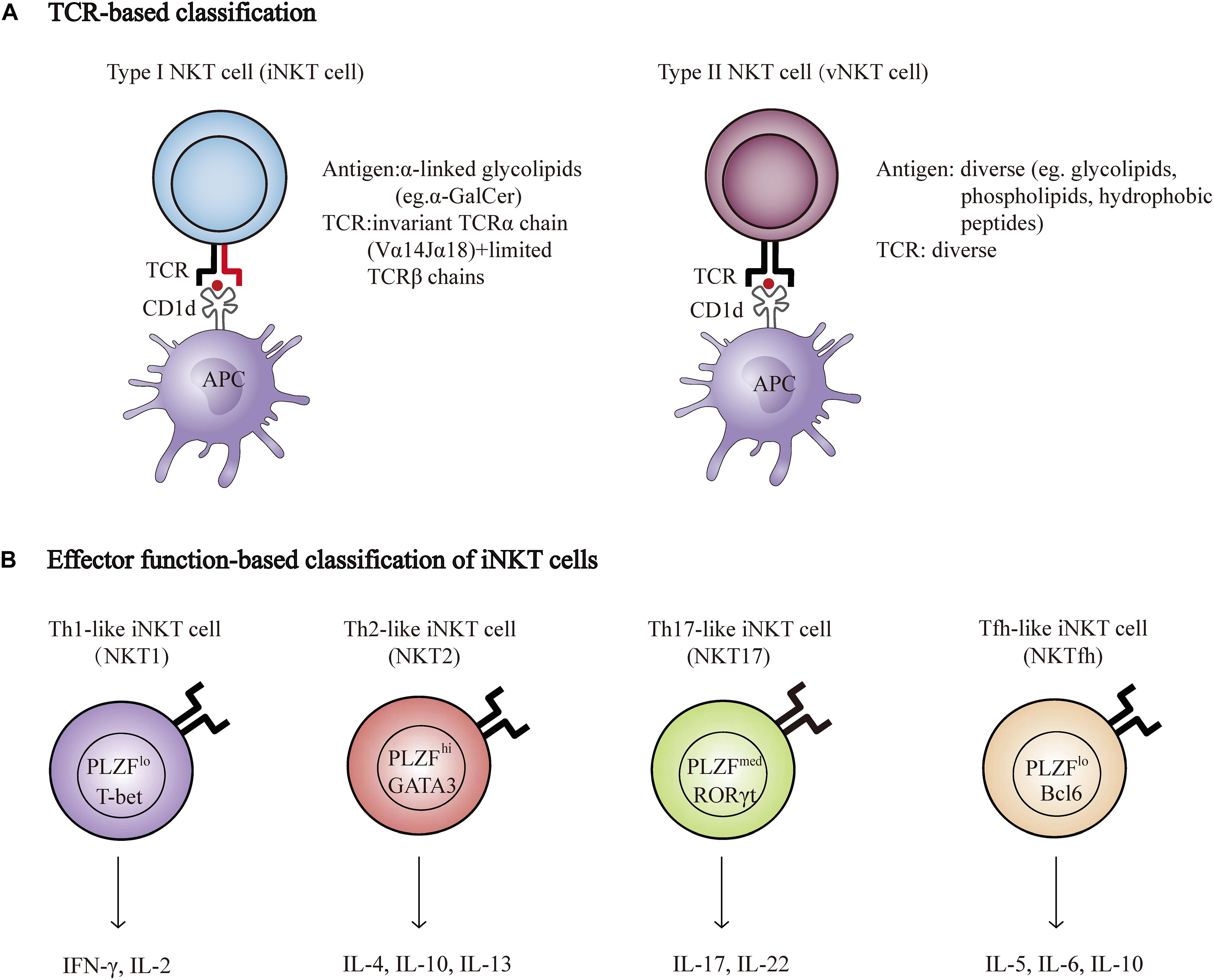 Frontiers | NKT Cells in Neurological Diseases | Cellular