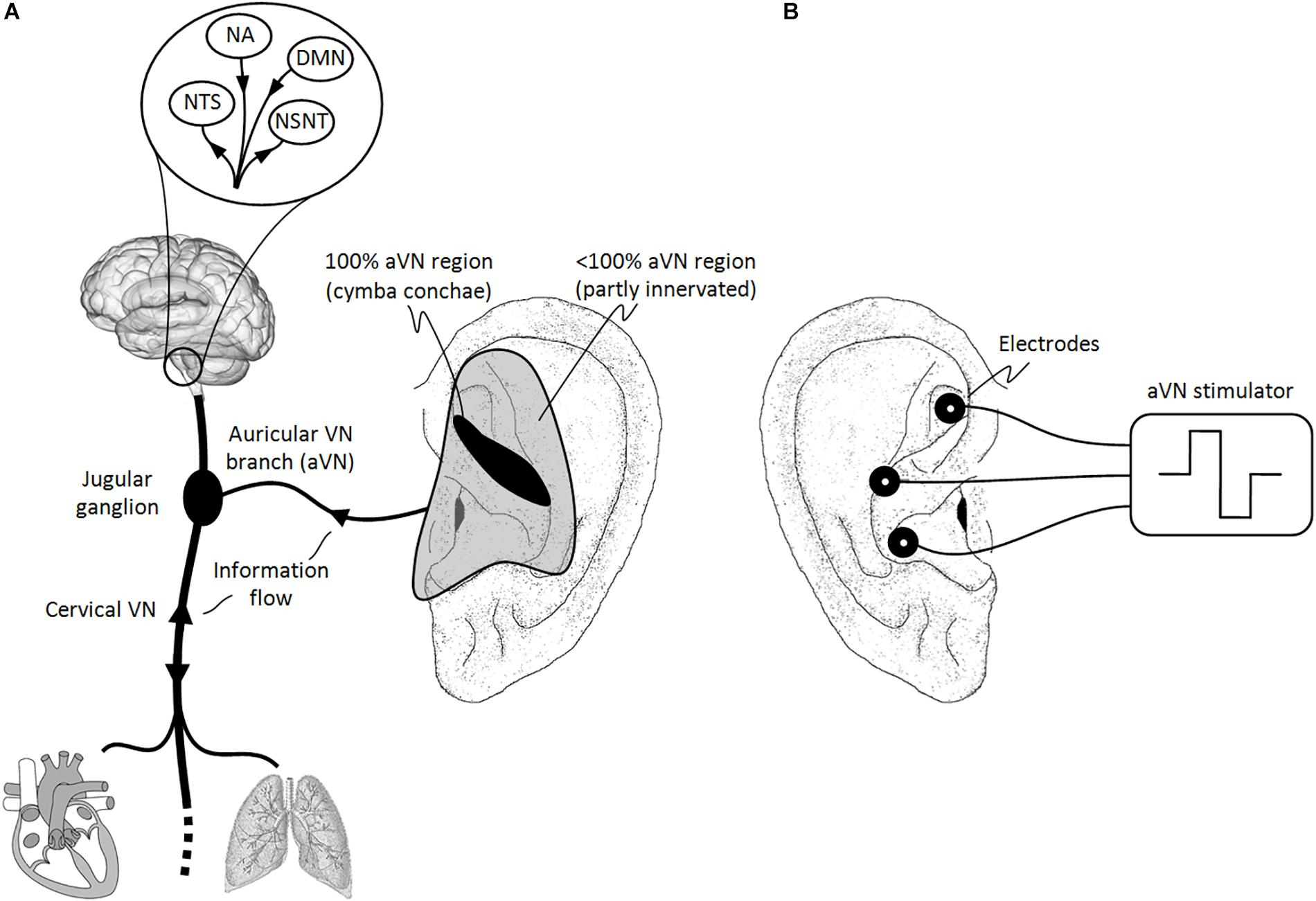 Frontiers | Current Directions in the Auricular Vagus Nerve