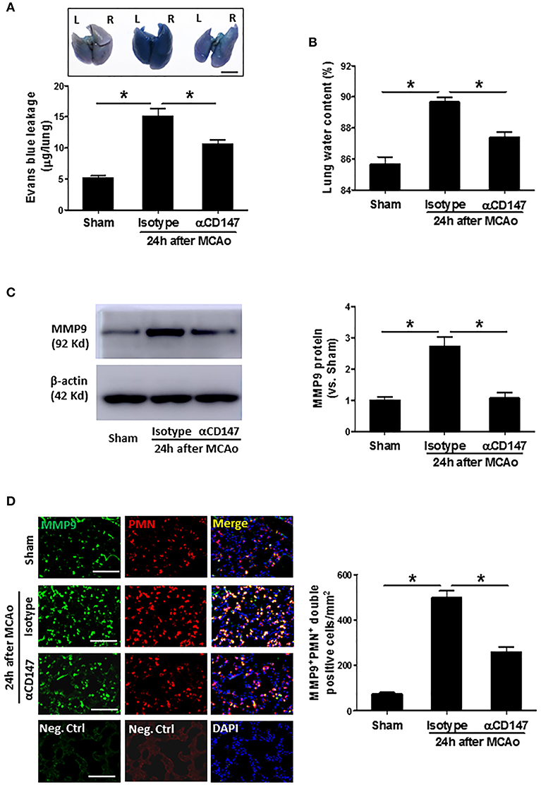 Frontiers | Inhibition of CD147 Attenuates Stroke-Associated