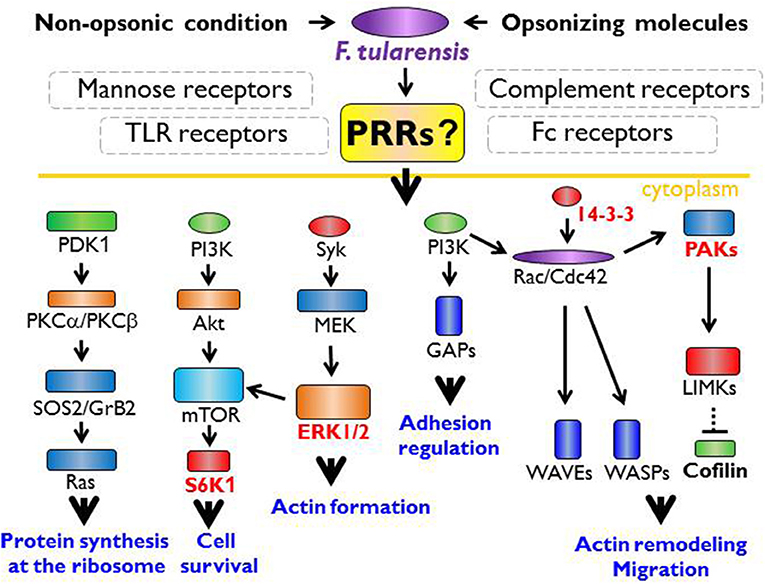 Frontiers | Innate Immune Recognition: An Issue More Complex