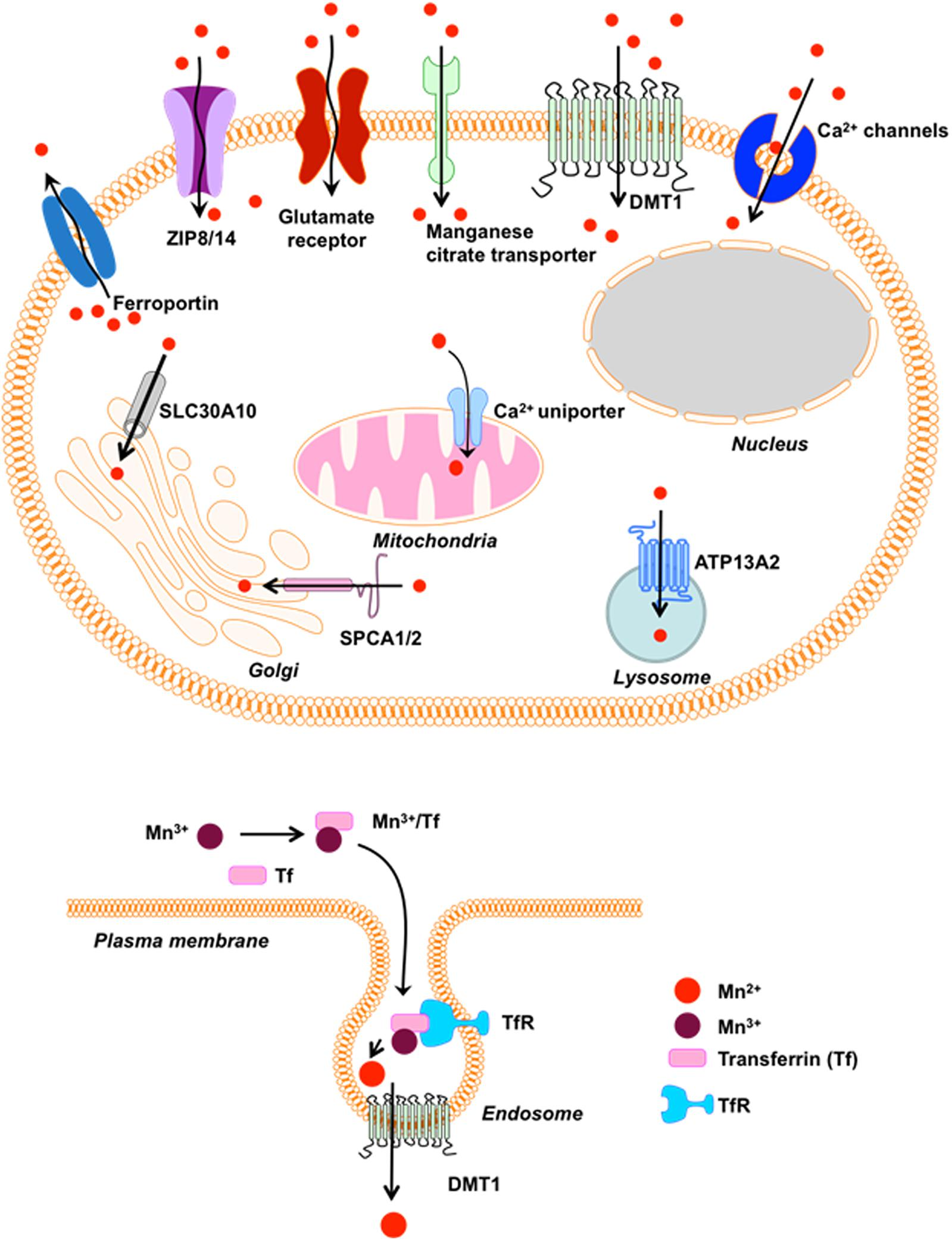Frontiers | Manganese-Induced Neurotoxicity: New Insights
