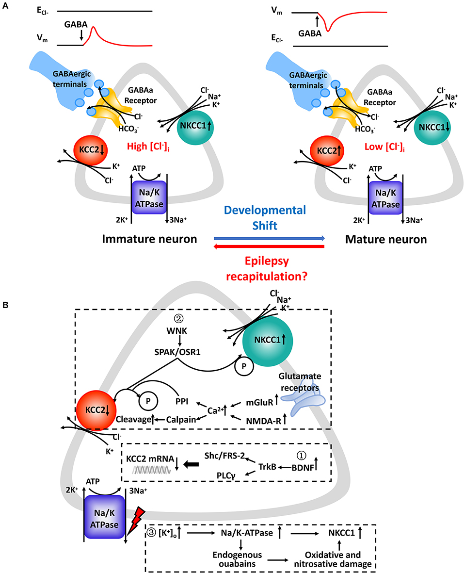 Frontiers | Role of NKCC1 and KCC2 in Epilepsy: From Expression to Function  | Neurology