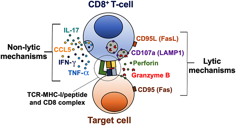 Frontiers | CD8+ T-Cell Response to HIV Infection in the Era