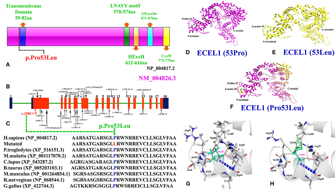Frontiers   Biallelic Missense Mutation in the ECEL1 ...