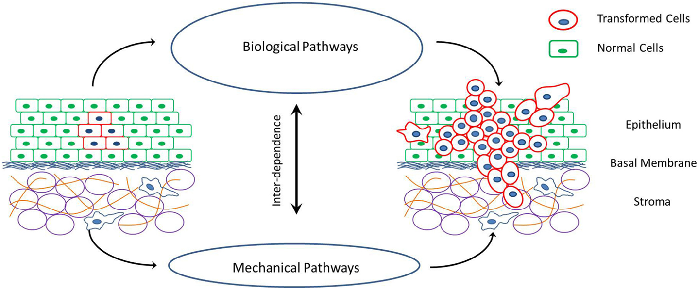 Frontiers | Modeling the Mechanics of Cancer: Effect of Changes in