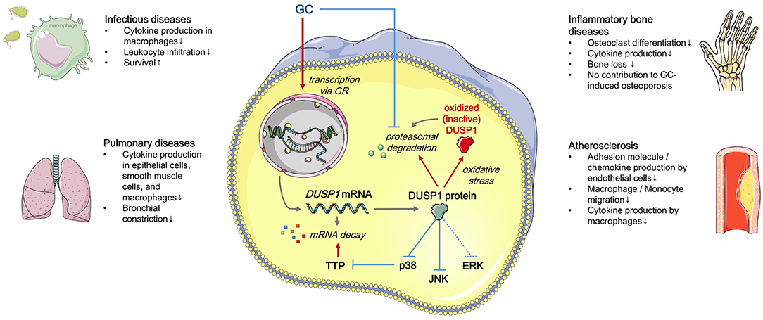 Frontiers | Role of Dual-Specificity Phosphatase 1 in Glucocorticoid