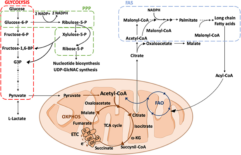 Frontiers | The Metabolic Signature of Macrophage Responses