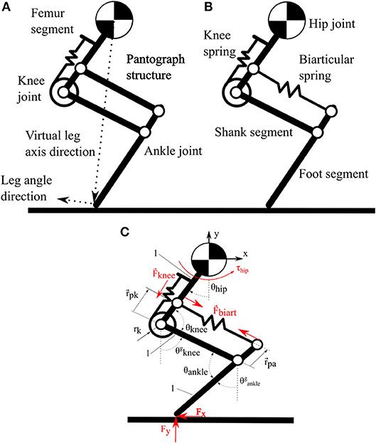 Frontiers | Series Elastic Behavior of Biarticular Muscle ...
