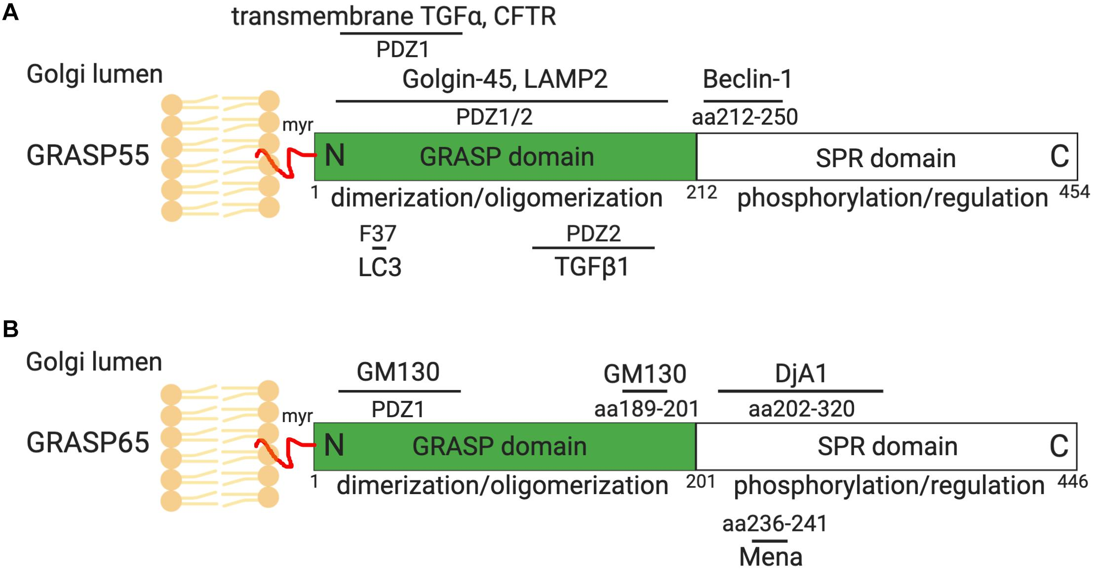 Frontiers | New Insights Into the Golgi Stacking Proteins