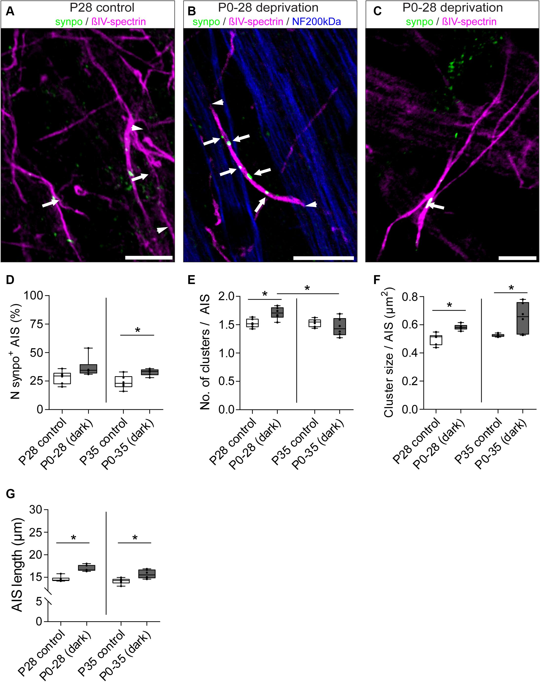 Frontiers | Dynamic Regulation of Synaptopodin and the Axon Initial