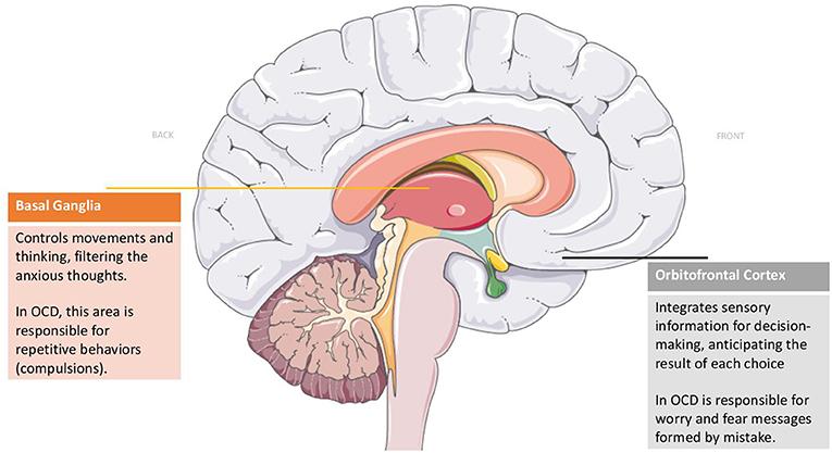 Figure 1 - Brain regions affected in OCD.