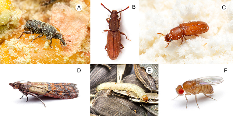 Figure 1 - Arthropod pests that live on the food in our kitchens: (A) granary weevil (Sitophilus), (B) grain beetle (Oryzaephilus), (C) flour beetle (Tribolium), (D) Indianmeal moth adult (Plodia interpunctella) and (E) larva, and (F) vinegar fly (Drosophila).