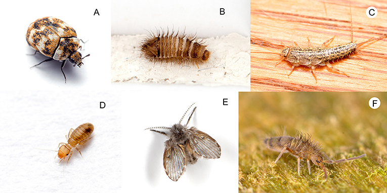 Figure 2 - Scavengers around the home: (A) carpet beetle (Anthrenus) adult and (B) larva, (C) silverfish (Lepismatidae), (D) book louse (Liposcelididae).