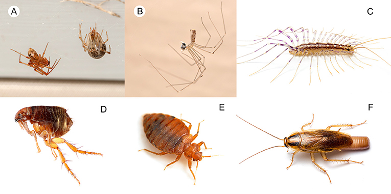 Figure 3 - Arthropod predators found in the home: (A) cobweb spiders (Theridiidae), (B) cellar spider (Pholcidae) with prey, and (C) house centipede (Scutigera coleoptrata).