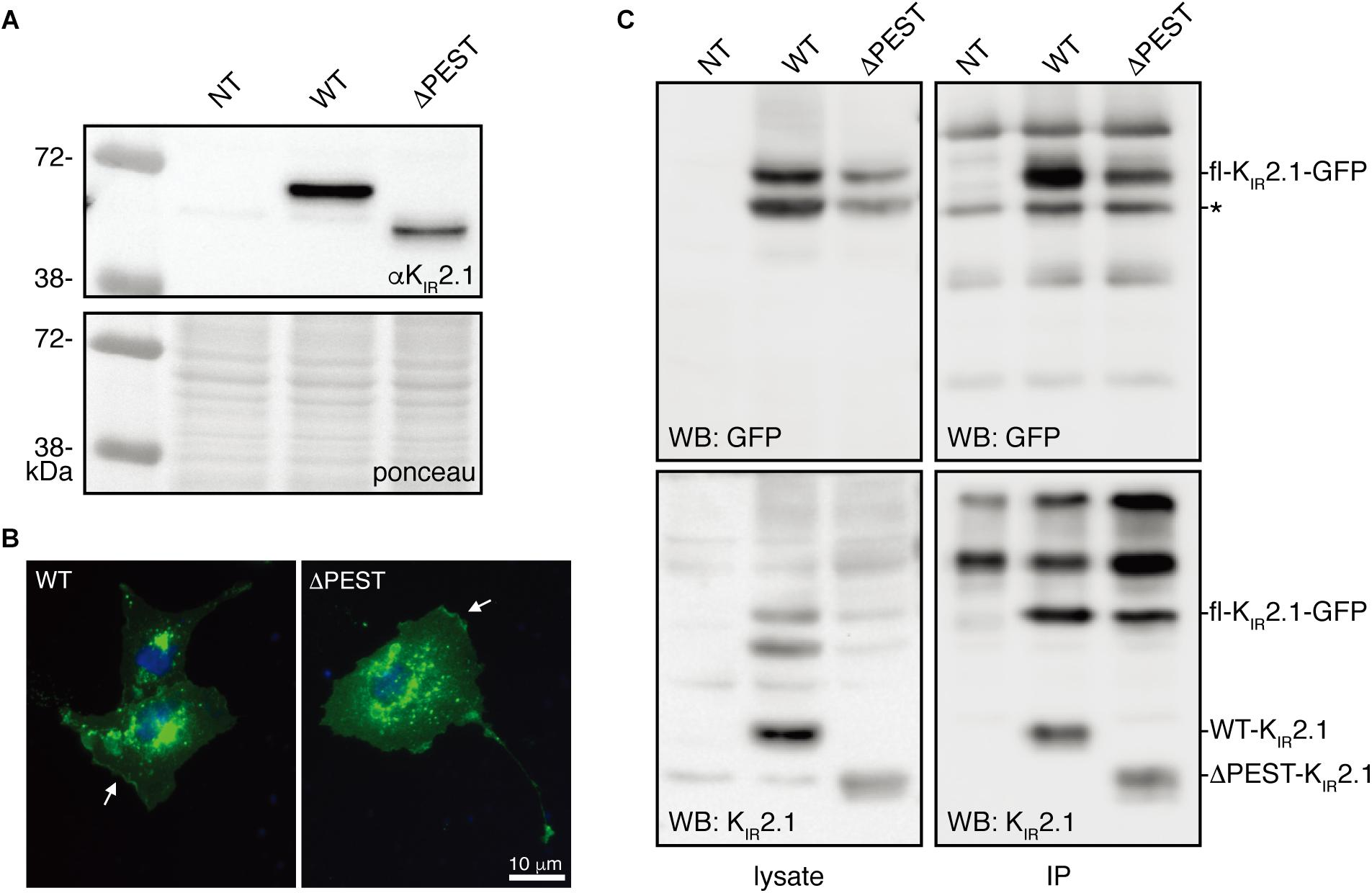Frontiers | Identification of a PEST Sequence in Vertebrate KIR2 1