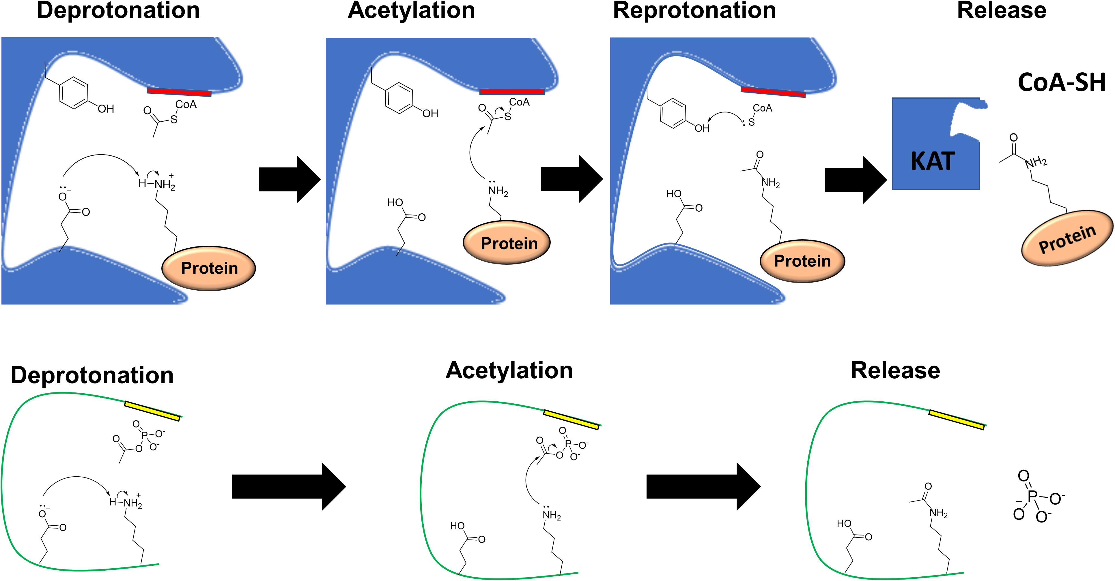 Frontiers | Post-translational Protein Acetylation: An