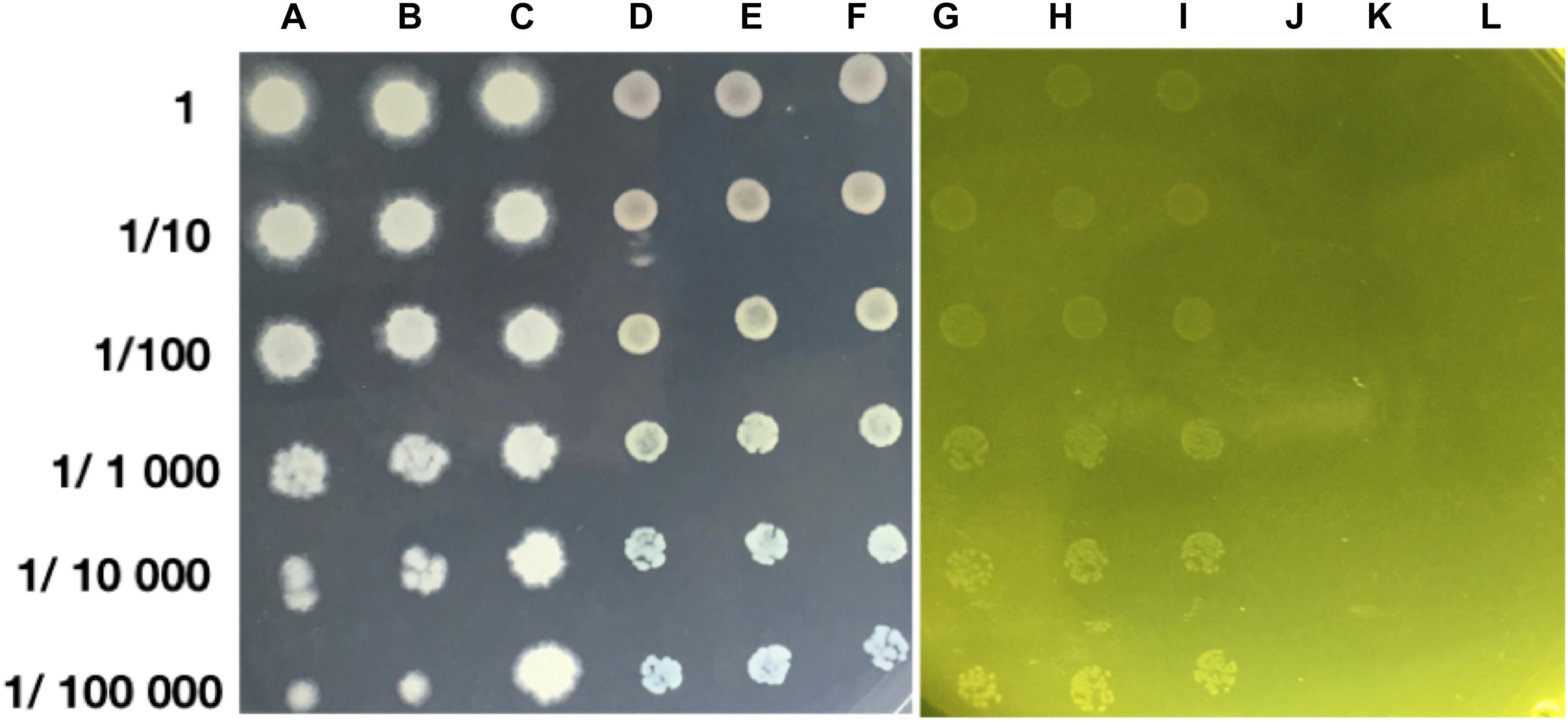 Frontiers | Chromium Hyper-Tolerant Bacillus sp  MH778713
