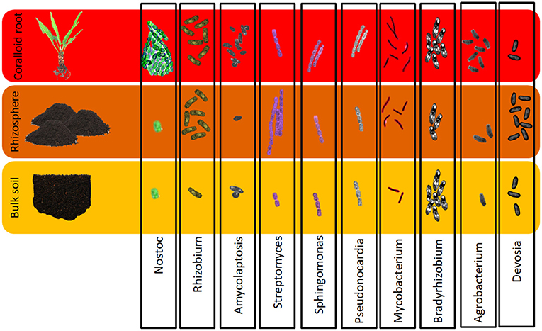 Figure 3 - Different amounts and types of bacteria were found in all three compartments: coralloid roots, rhizosphere and bulk soil of all plants studied.