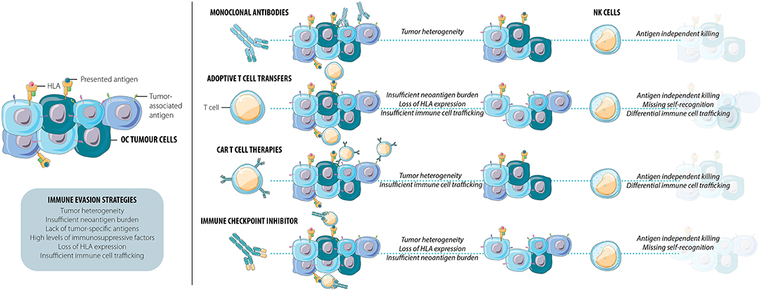 Frontiers Naturally Killing The Silent Killer Nk Cell Based Immunotherapy For Ovarian Cancer Immunology