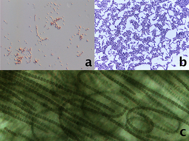 Figure 1 - Structures of some of the bacteria that are used as model microorganisms.