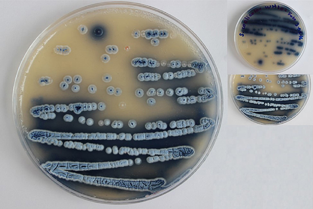 Figure 2 - A culture of the blue colored Streptomyces coelicolor with white spores.