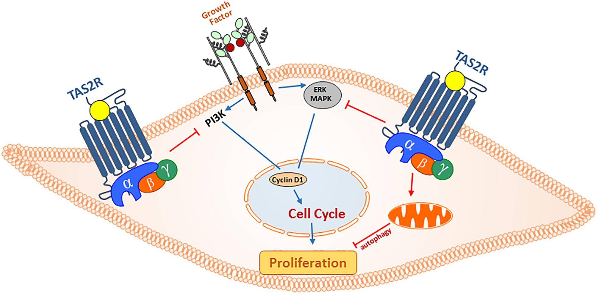 Frontiers | Bitter Taste Receptors for Asthma Therapeutics | Physiology