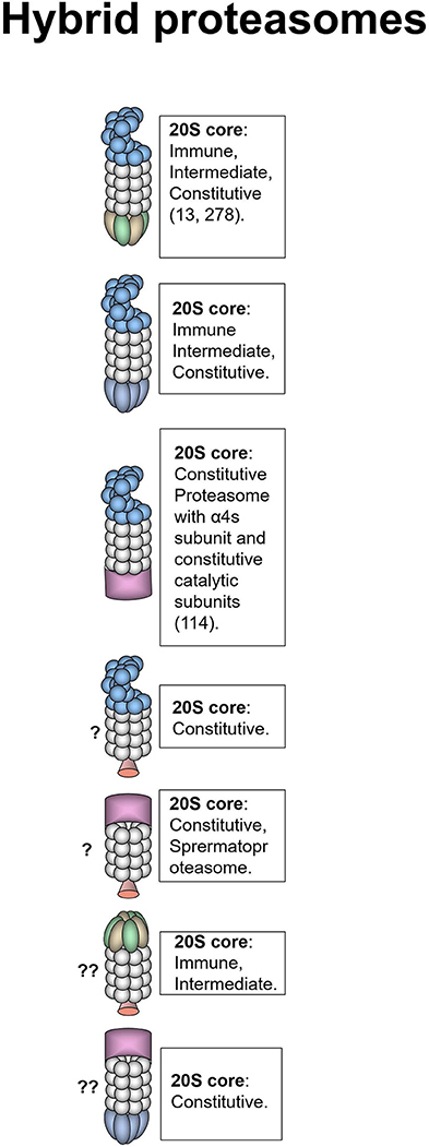 Frontiers | Proteasomes and Several Aspects of Their