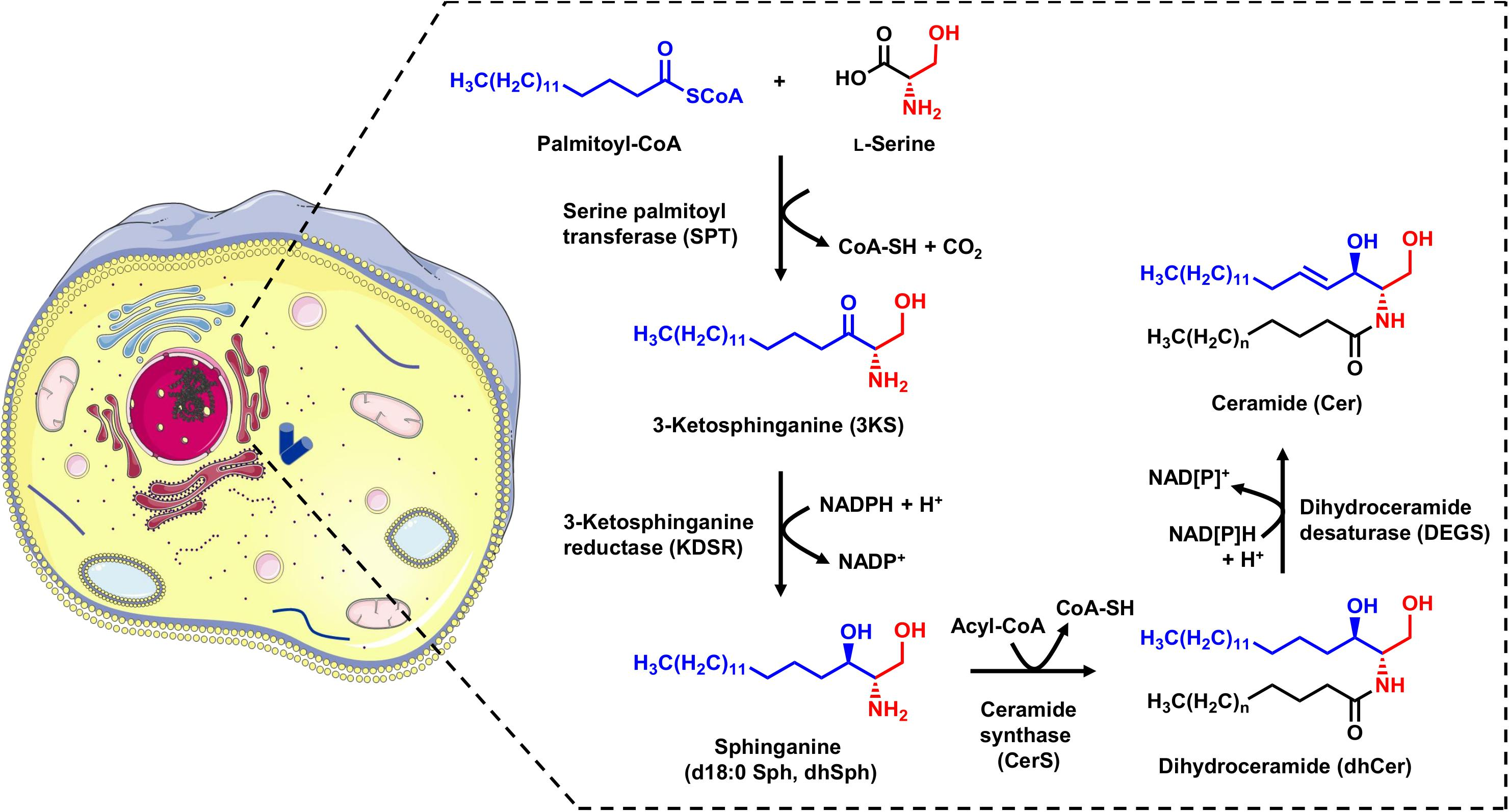 Frontiers | Monitoring the Sphingolipid de novo Synthesis by ...