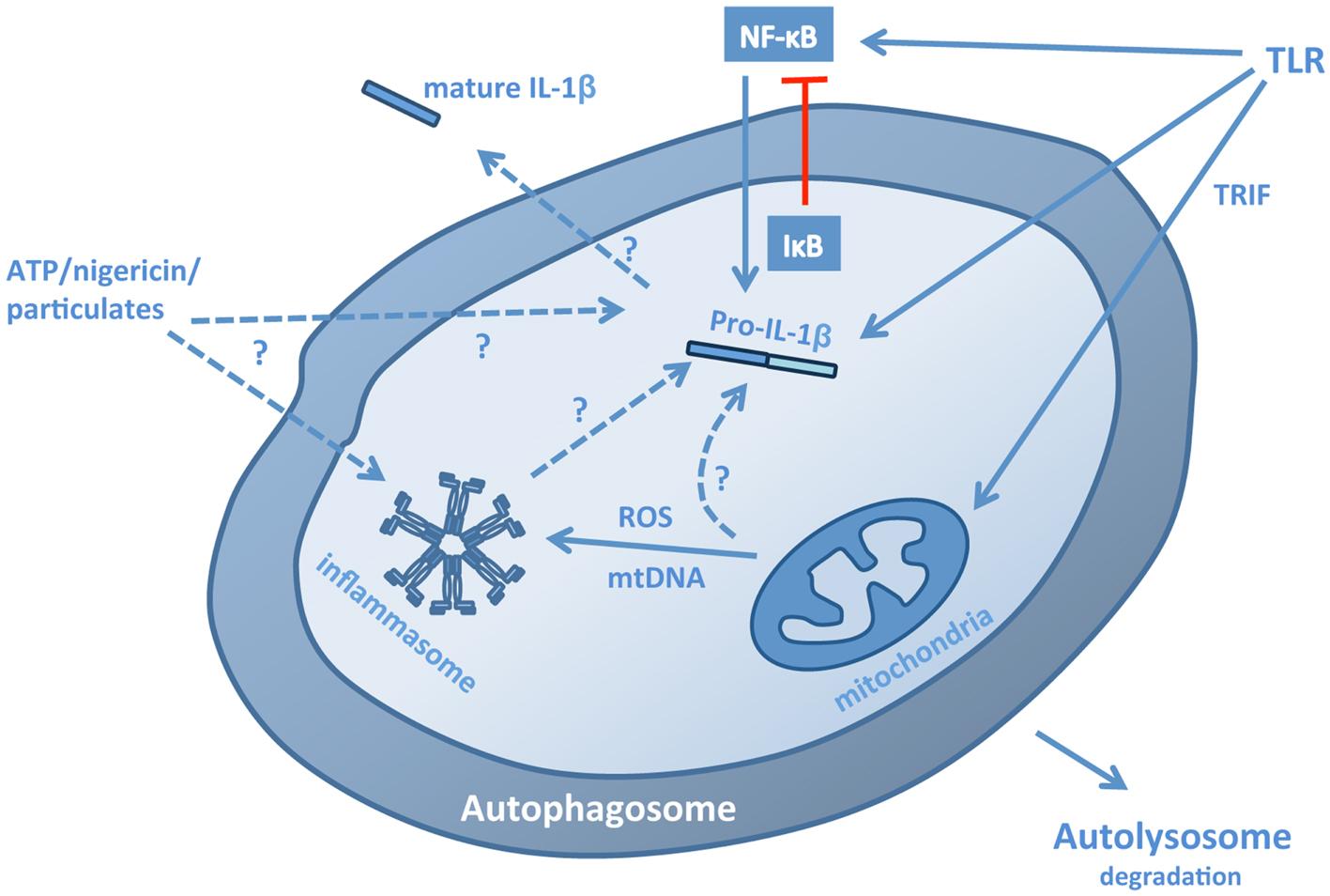 夜夜愹il�f�x�_pathways for the regulation of il-1β by autophagy