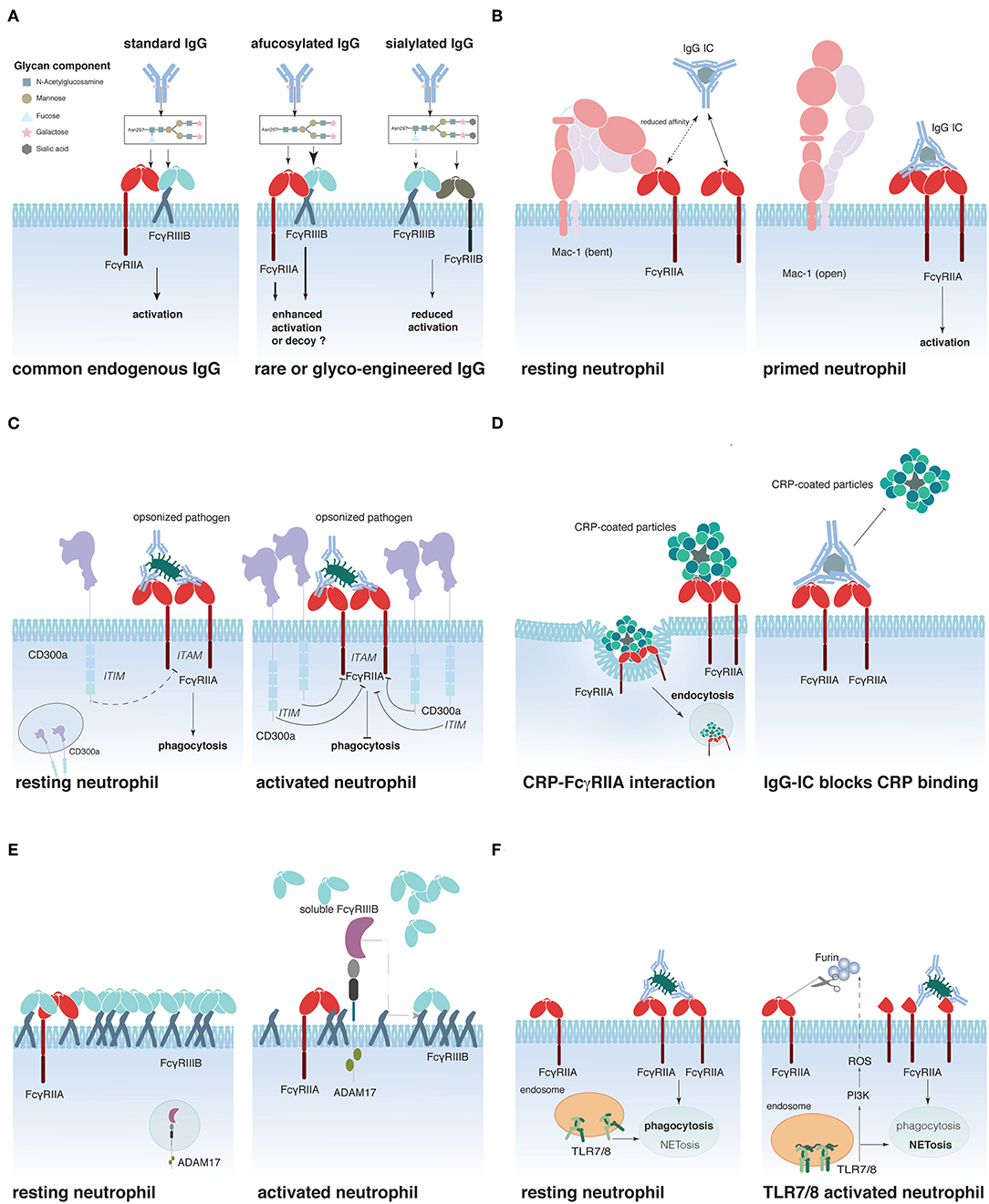 Frontiers | Expression, Role, and Regulation of Neutrophil
