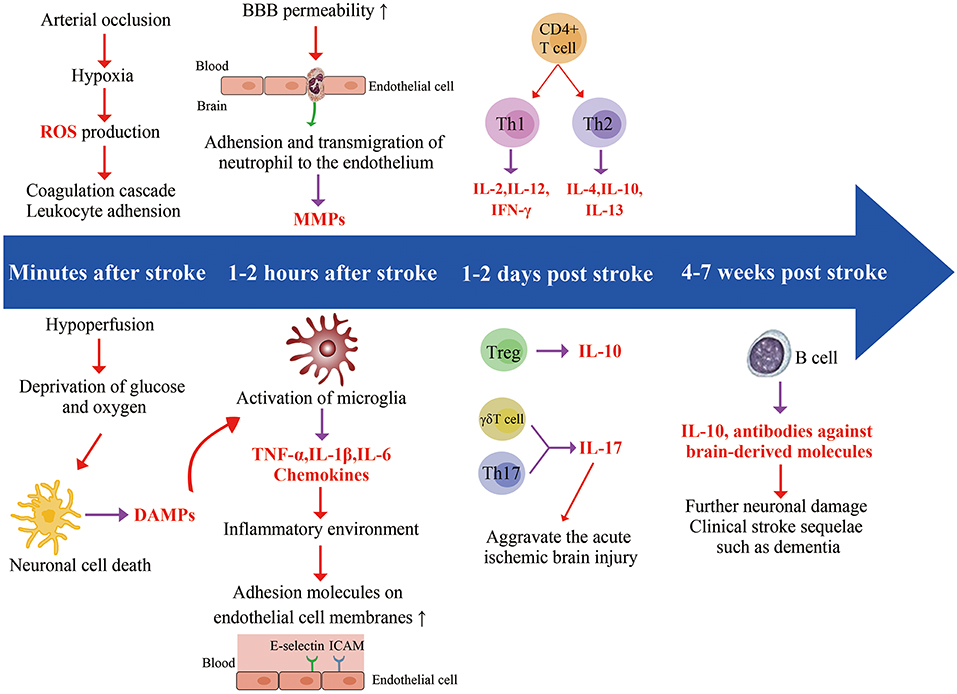 Immune System May Play Crucial Role In >> Frontiers The Involvement And Therapy Target Of Immune
