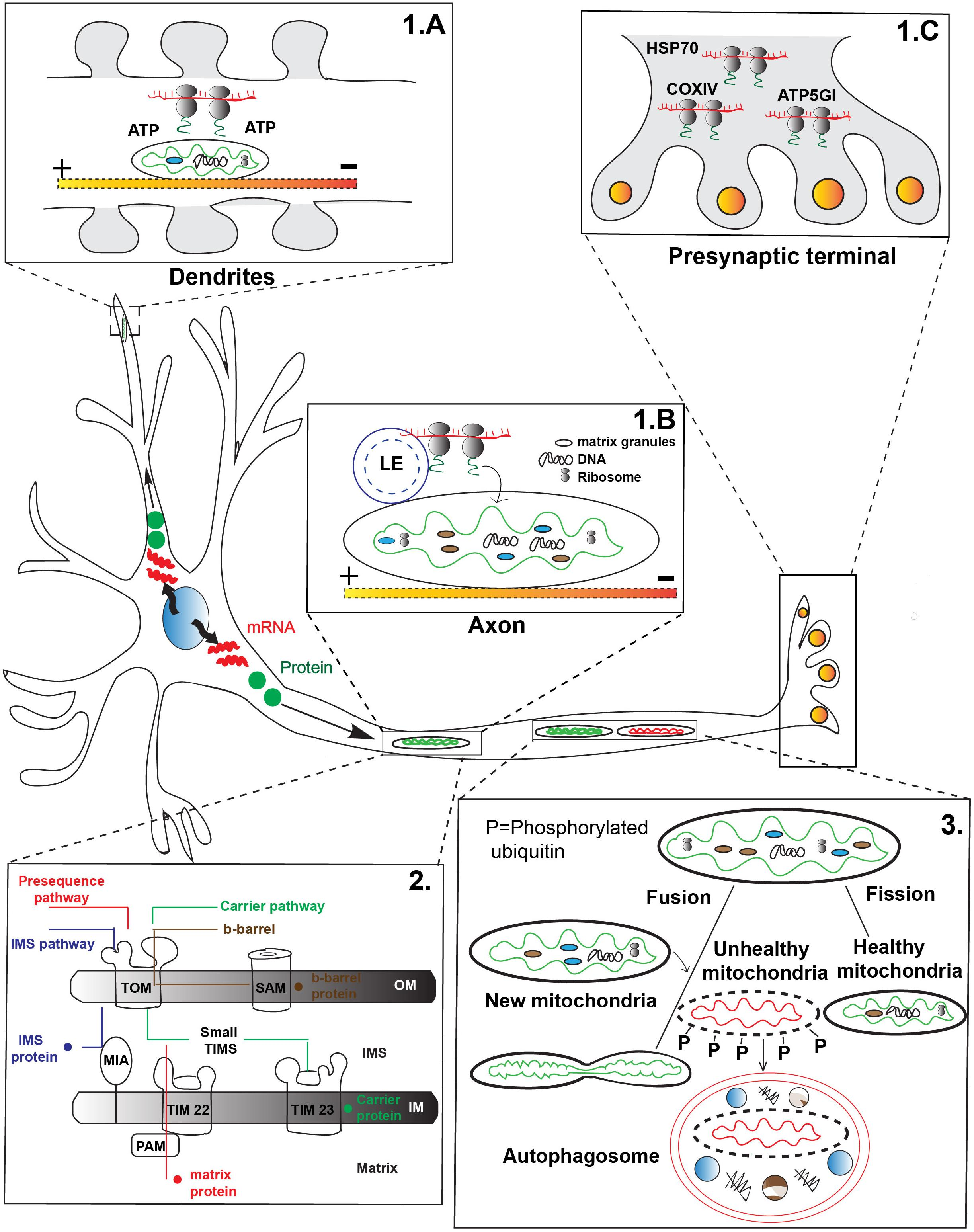 Frontiers | Axonal Transport and Mitochondrial Function in