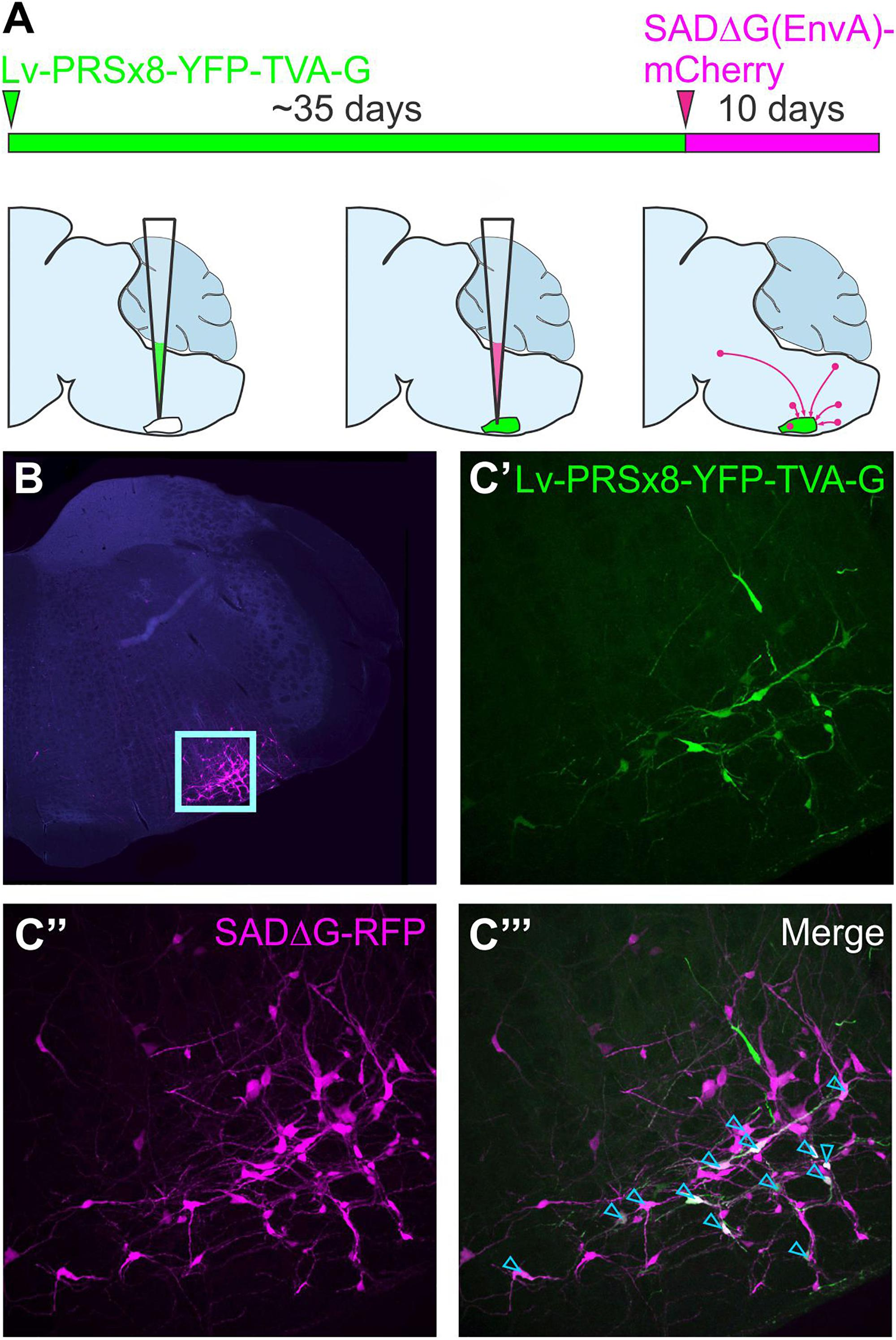 Frontiers | A Student's Guide to Neural Circuit Tracing