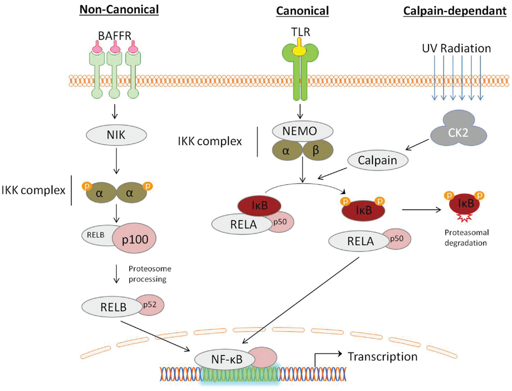 mechanisms of activation of nf b signaling pathway The nf-κb signaling pathway has multiple points of regulation, and is implicated in numerous diseases, thus it has recently become a target for therapeutic drugs.