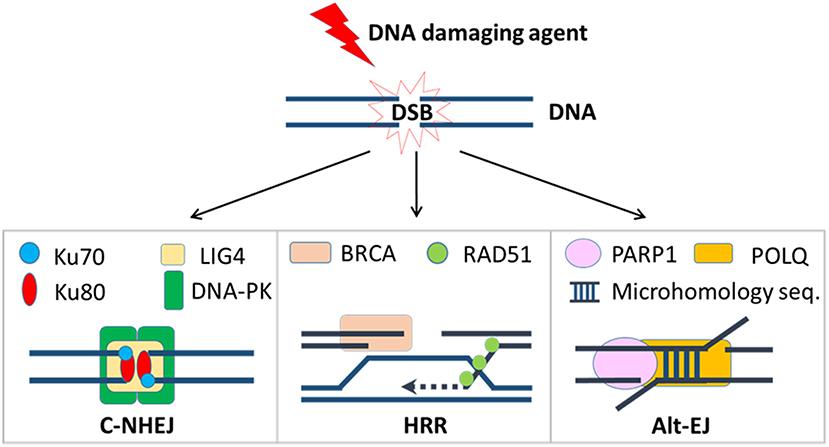 Frontiers   Misrepair in Context: TGFβ Regulation of DNA
