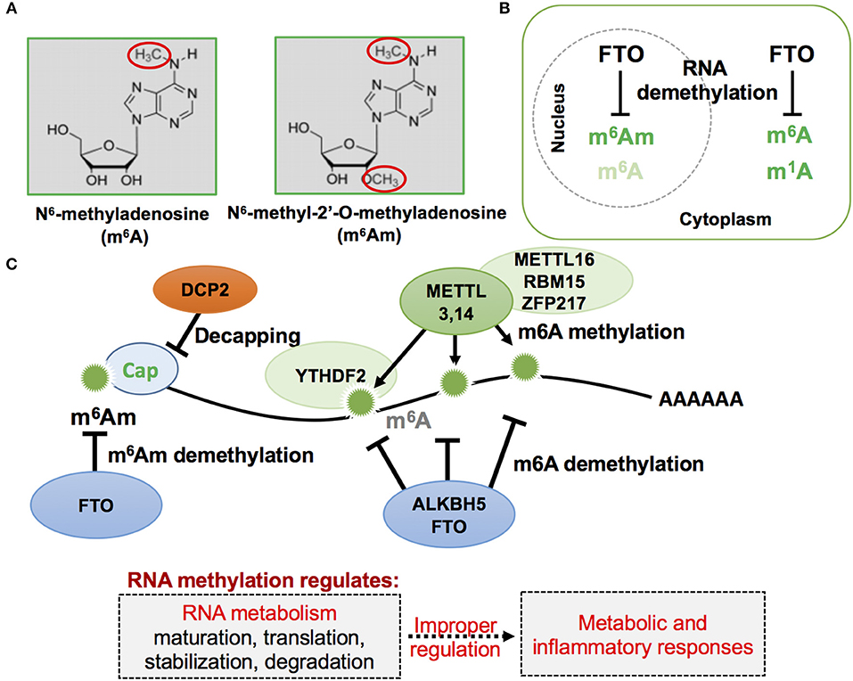Frontiers | RNAs and RNA-Binding Proteins in Immuno
