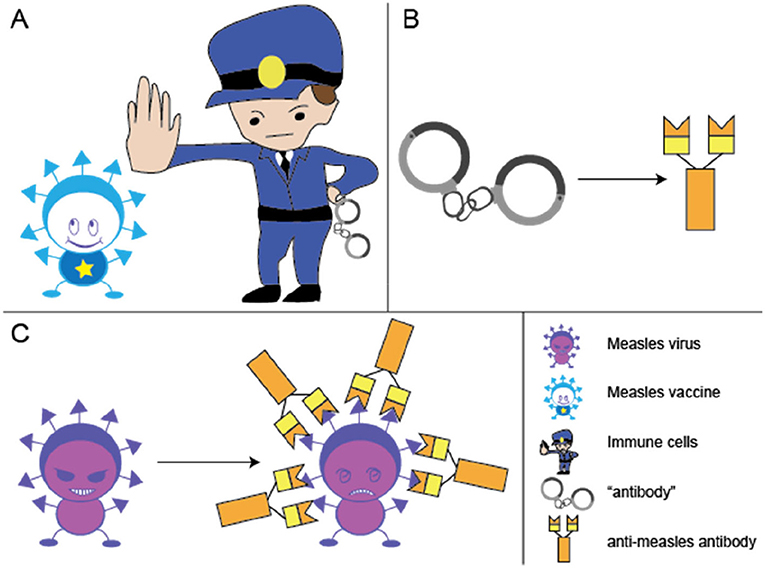 Figure 1 - The measles vaccine trains the immune system to produce anti-measles antibodies.