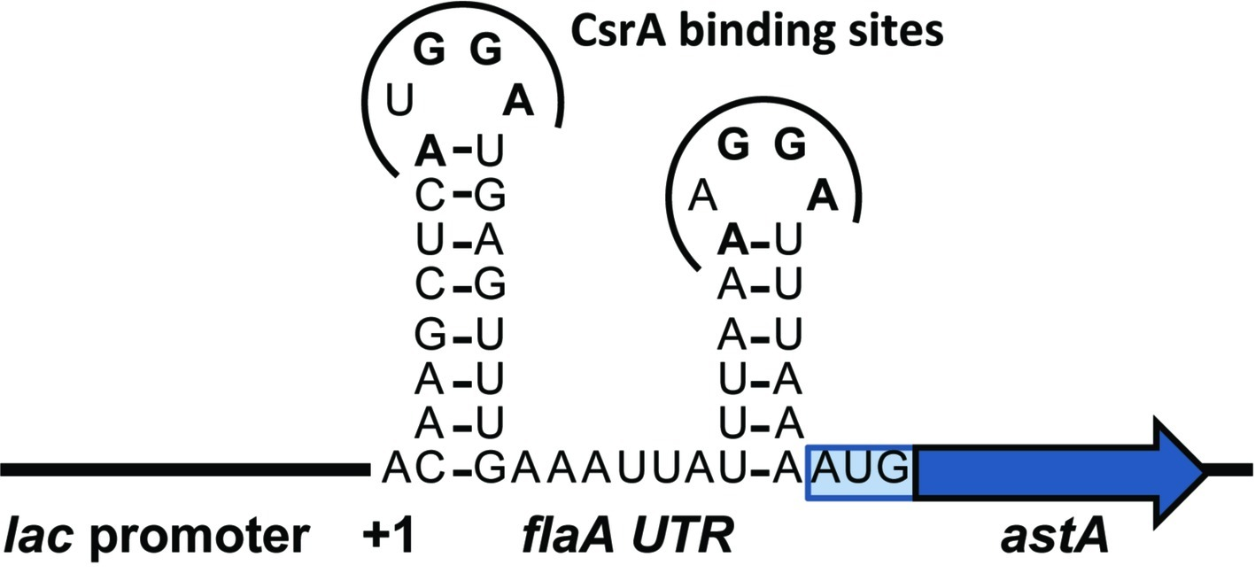Frontiers   RNA Binding by the Campylobacter jejuni Post