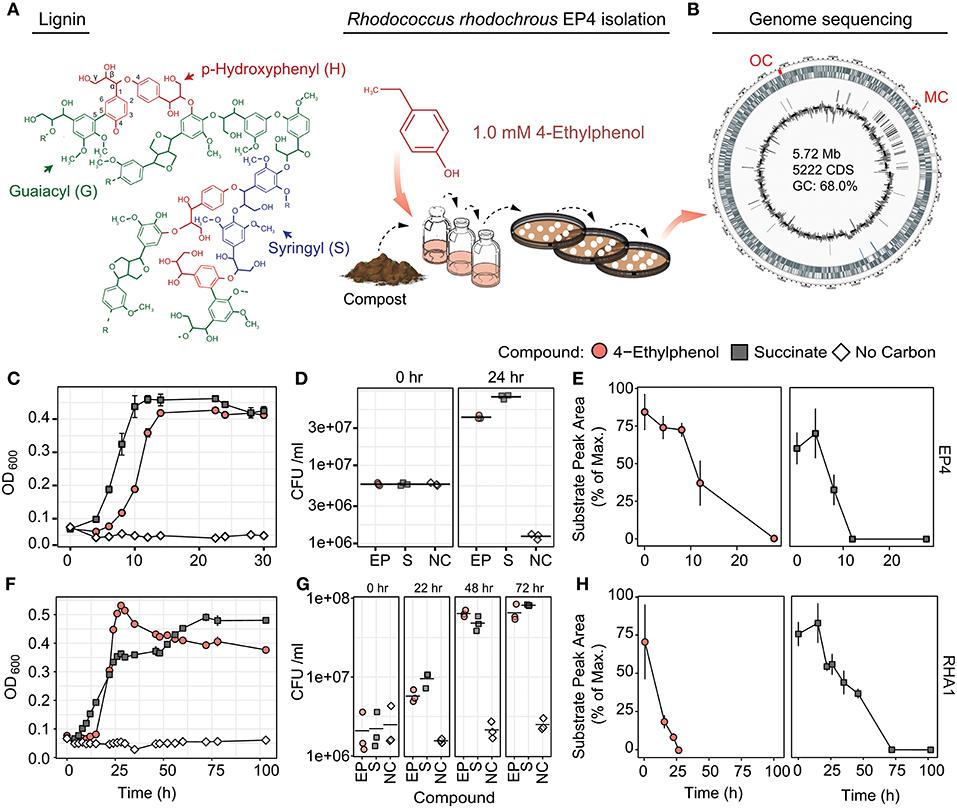 Frontiers | Catabolism of Alkylphenols in Rhodococcus via a
