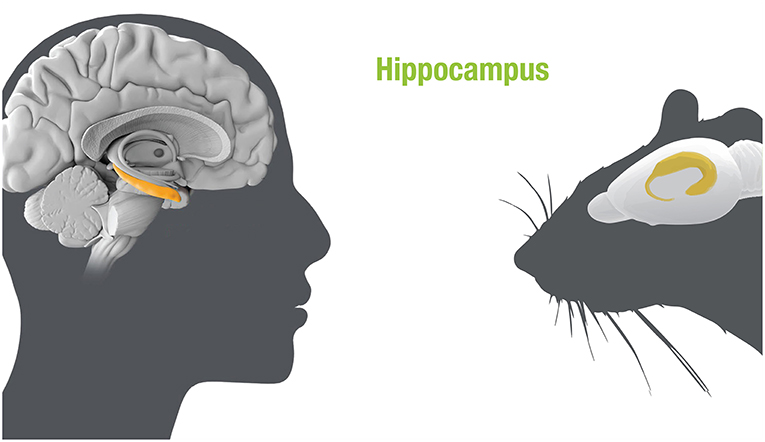 Figure 1 - The hippocampus in human and rat brains.