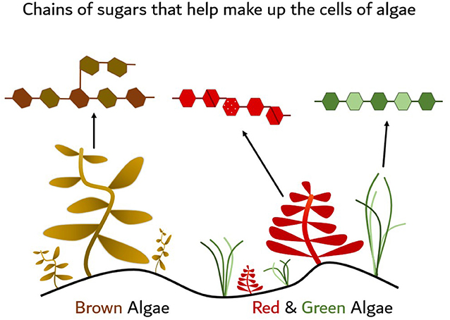 Figure 1 - Examples of different types of marine algae, or seaweeds, including brown, red, and green types.