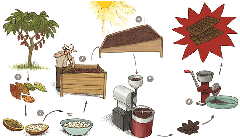 Figure 2 - From trees to chocolate: how cacao beans are transformed.