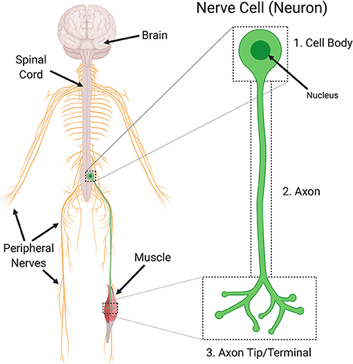 Figure 2 - Nerve cells, also known as neurons, are signaling cells found in the brain and spinal cord.