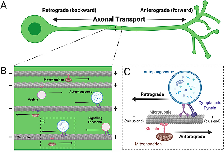 Figure 3 - (A) Axonal transport can occur in two directions: anterograde transport is from the cell body toward the axon tip, and retrograde transport is from the axon tip back toward the cell body.