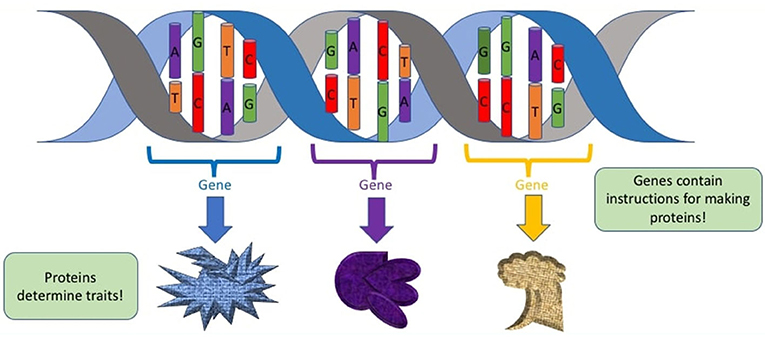 Figure 2 - The relationship between DNA, genes, and proteins.