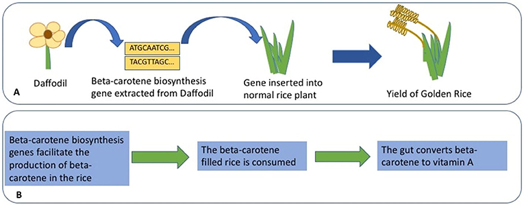 Figure 3 - The creation of Golden Rice.