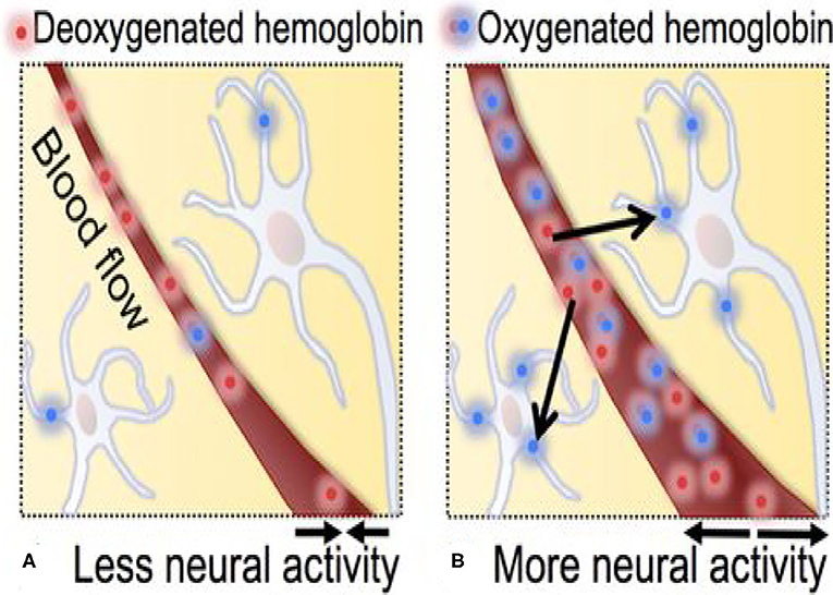 Figure 3 - Movement of oxygenated and deoxygenated hemoglobin during neural activity.