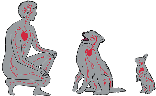 Figure 3 - Whether you are a dog, a rabbit, or a person, blood vessels must run throughout your body, carrying blood that is pumped around by the heart.