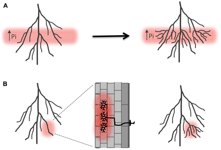Frontiers multiple control levels of root system remodeling in frontiersin ccuart Image collections
